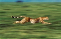 Running cheetah, Masai Mara, Kenya