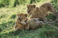 African lion cubs playing, Masai Mara, Kenya