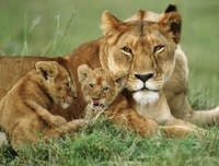 African lioness with cubs 22206000625| 写真素材・ストックフォト・画像・イラスト素材|アマナイメージズ