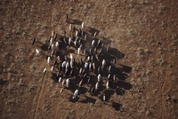 Maasai herder with cattle, Kenya