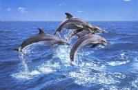 Bottlenose dolphins, South Africa