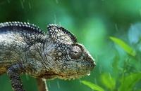 Chameleon in rain (captive)