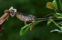 Chameleon feeding on insect (captive)