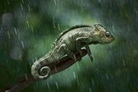 Chameleon in the rain (conceptual composite image)