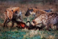 African spotted hyenas at a kill in the early morning, Masai