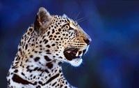 African leopard on alert at night,  Masai Mara, Kenya