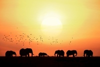 African elephants with birds at sunrise, Masai Mara, Kenya