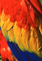 Scarlet macaw's wing (captive)