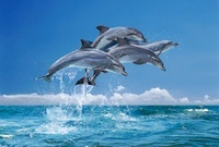 Bottlenose dolphins, South Africa