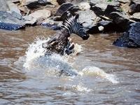 Nile crocodile attacking zebra, Mara River, Kenya
