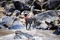 Zebra escaping from attack by Nile crocodiles, Mara River, K