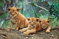 African lion cubs, South Africa
