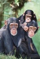 Chimpanzee family (captive)