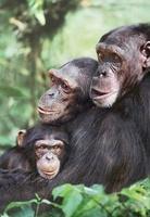 Chimpanzees (captive) 22206000919| 写真素材・ストックフォト・画像・イラスト素材|アマナイメージズ