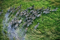 Aerial view of zebra herd running through swamp, Okavango De