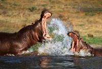 Hippopotamus with mouths open, fighting, Okavango, Botswana