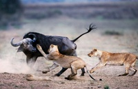 African Lions attacking a buffalo, Masai Mara, Kenya