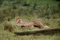Running cheetah, Masai Mara, Kenya 22206001000| 写真素材・ストックフォト・画像・イラスト素材|アマナイメージズ