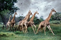 Giraffes running, Moremi, Botswana