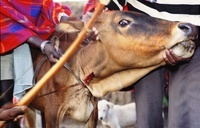 Maasai cow being bled to make the traditional Maasai blood/m