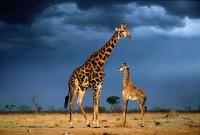 Giraffes, Savuti, Botswana.