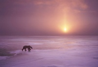 Polar bear at sunset, Cape Churchill, Manitoba, Canada.
