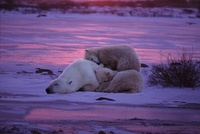 Sleeping polar bear mother with two cubs, Canada