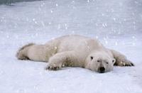 Polar bear sleeping in the snow, Cape Churchill, Manitoba, C
