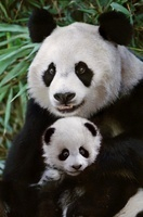 Panda mother with cub, Sichuan, China