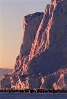 Emperor Penguins, Auster EP Rookery, Australian Antarctic Te