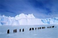Emperor Penguins, Amanda Bay rookery, Australian Antarctic T