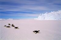 Emperor penguins toboganning,  Auster EP Rookery, Australian