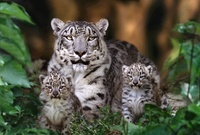 Snow Leopard mother and six week old cubs (captive)