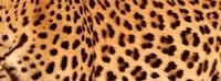 African leopard skin