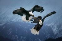Bald Eagles fighting in mid-air, Alaska