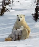 Polar Bear mother nursing young cubs, Manitoba,  Canada.