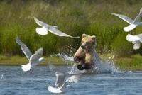 Brown Bear charging through water and birds, Katmai National