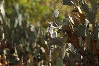Ring-tailed Lemur sitting on cacti, Berenty, Madagascar
