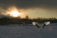 Japanese (red-crowned) Cranes at sunset, Hokkaido Island, Ja