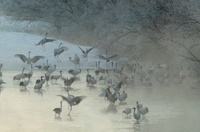 Japanese (red-crowned) Cranes dancing in the morning mist, H