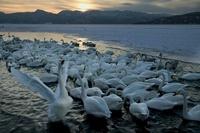 Whooper Swans on the shoreline, Hokkaido Island, Japan