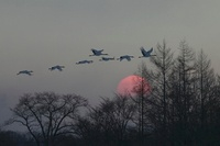 Japanese (red-crowned) Cranes flying at sunset, Hokkaido Isl