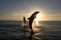 Bottlenose Dolphins leaping at sunset, Honduras