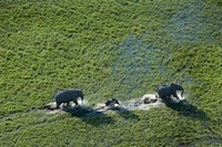 Aerial view of African elephant family, Okavango Delta, Bots