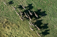 Zebras, casting shadows, photographed from the air, Okavango