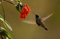 Sparkling Violet-ear hummingbird feeding while hovering in f