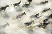 Aerial view of Zebra herd running, Okavango Delta, Botswana