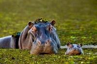 Mother and baby hippo, Okavango Delta, Botswana