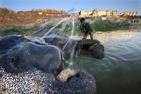 Mahout washing an elephant in the river below the Amber Fort 22206001962| 写真素材・ストックフォト・画像・イラスト素材|アマナイメージズ