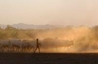Young Dassenech boy herding cattle in the evening light, Omo